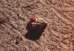 Salt Cay hermit crab