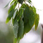 rain on eucalyptus